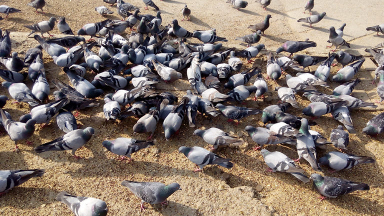 Taking the pill: how pigeon populations can be controlled with safe sex