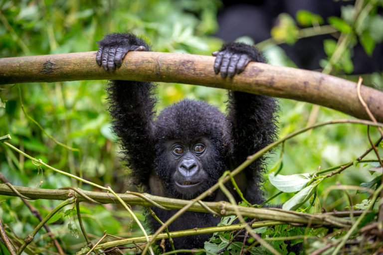 The Congo Basin's mountain gorillas are endangered, but there's hope